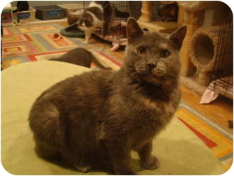 Domestic Shorthair Cat for adoption in Muncie, Indiana - Camille