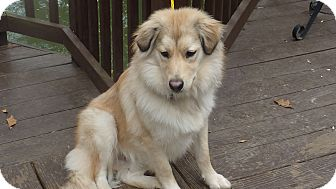 Australian Shepherd/Collie Mix Puppy for adoption in Raleigh, North Carolina - Nicky