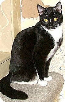 Domestic Shorthair Cat for adoption in Chattanooga, Tennessee - Andrew
