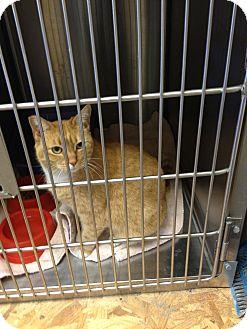 Domestic Shorthair Cat for adoption in Ogden, Utah - Ginger