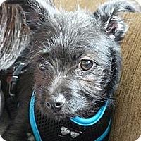 Adopt A Pet :: Noodle - Seattle, WA