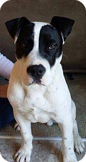 Staffordshire Bull Terrier/Labrador Retriever Mix Dog for adoption in Sneads Ferry, North Carolina - Blaze