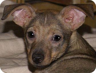 Chihuahua/Yorkie, Yorkshire Terrier Mix Puppy for adoption in Staunton, Virginia - Dugan