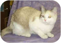 Siamese Cat for adoption in Murphysboro, Illinois - Claudette