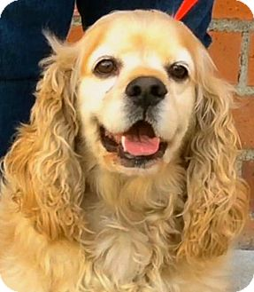 Cocker Spaniel Dog for adoption in Los Angeles, California - BERNIE (video)
