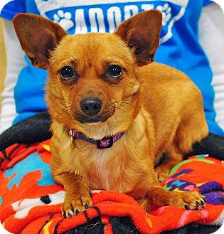 Chihuahua Mix Dog for adoption in Weatherford, Texas - Jessie