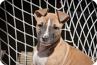 Collie/Pit Bull Terrier Mix Puppy for adoption in Philadelphia, Pennsylvania - Colby