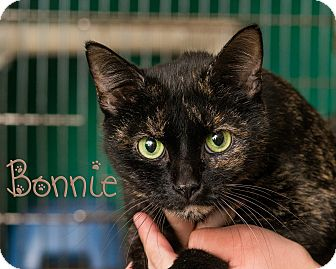 Domestic Shorthair Cat for adoption in Somerset, Pennsylvania - Bonnie
