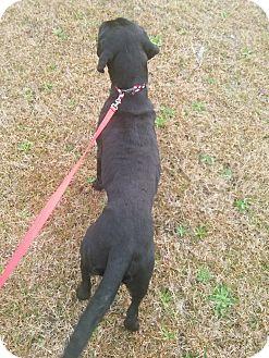 Labrador Retriever Puppy for adoption in Coats, North Carolina - Leila