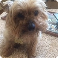 Yorkie, Yorkshire Terrier Mix Dog for adoption in Oakland, California - Raggs