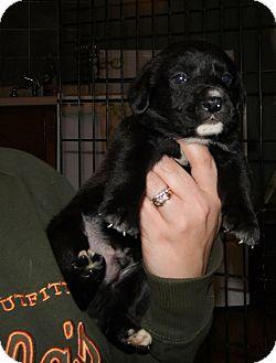 Labrador Retriever/Boxer Mix Puppy for adoption in Mooresville, Indiana - Corbin
