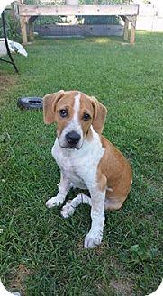 Treeing Walker Coonhound/Australian Shepherd Mix Puppy for adoption in Oak Lawn, Illinois - Walnut