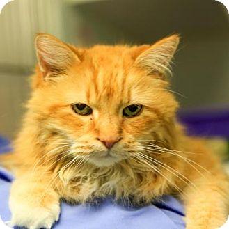 Domestic Mediumhair Cat for adoption in Staunton, Virginia - Merlin