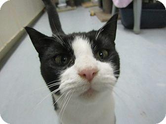 Domestic Shorthair Cat for adoption in Kingston, Washington - Augustus