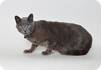 Russian Blue Cat for adoption in Fruit Heights, Utah - Mouse