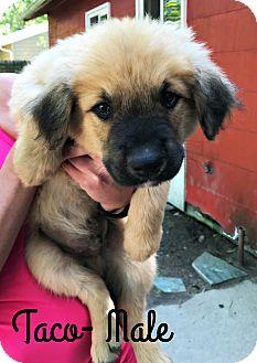 German Shepherd Dog/Mastiff Mix Puppy for adoption in Virginia Beach, Virginia - Taco