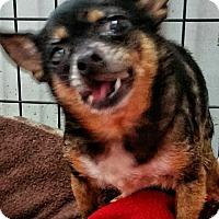 Adopt A Pet :: Bella roo - Jackson, MO