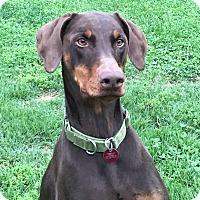 Doberman Pinscher Dog for adoption in Arlington, Virginia - Sasha