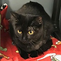 Domestic Shorthair Cat for adoption in Byron Center, Michigan - Chicory
