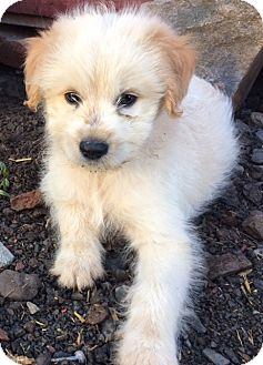 American Eskimo Dog/Pomeranian Mix Puppy for adoption in Pennigton, New Jersey - Taiji