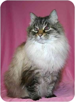 Domestic Longhair Cat for adoption in Ladysmith, Wisconsin - Cocoa