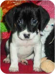 Beagle/Cane Corso Mix Puppy for adoption in Freeport, New York - Pups!