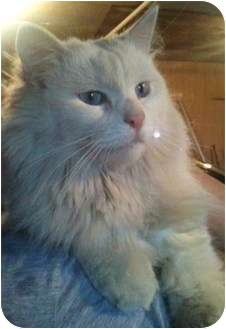 Domestic Longhair Cat for adoption in Newburgh, Indiana - Prince