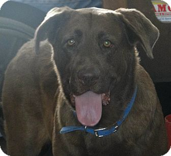 Labrador Retriever Mix Dog for adoption in Columbus, Indiana - Roscoe