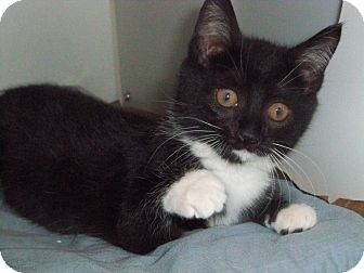Domestic Shorthair Kitten for adoption in Secaucus, New Jersey - Peppermint