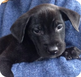 Labrador Retriever Mix Puppy for adoption in Marlton, New Jersey - Baby Dixon