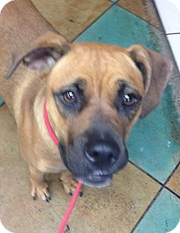 Boxer/Labrador Retriever Mix Dog for adoption in Snohomish, Washington - Beautiful Bailey-Family girl!