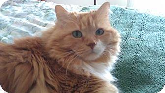Domestic Longhair Cat for adoption in Novato, California - Tiggy
