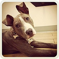 Adopt A Pet :: Ace - Los Angeles, CA