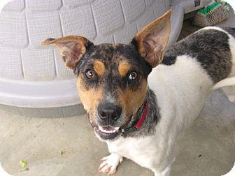 Australian Shepherd Mix Puppy for adoption in Coudersport, Pennsylvania - CHUBBY