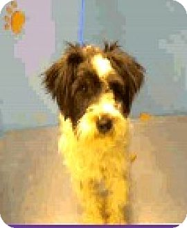 Schnauzer (Miniature)/Poodle (Miniature) Mix Dog for adoption in Boulder, Colorado - Jonah - ADOPTION PEDNING