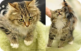 Maine Coon Kitten for adoption in Ortonville, Michigan - Webster