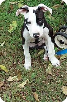 Pit Bull Terrier Mix Dog for adoption in Runnemede, New Jersey - Rascal
