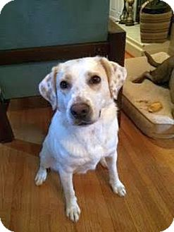 Labrador Retriever/Collie Mix Dog for adoption in Chattanooga, Tennessee - Callie