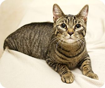 Domestic Shorthair Cat for adoption in Montclair, New Jersey - Junior
