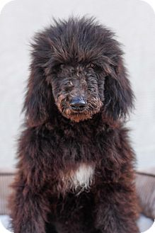 Labradoodle Mix Puppy for adoption in Auburn, California - Lancelot