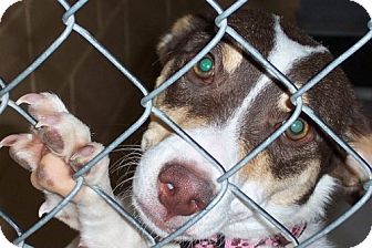 Rat Terrier Mix Dog for adoption in Newburgh, Indiana - Gabby pending