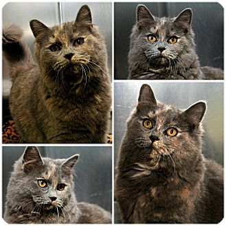 Domestic Mediumhair Cat for adoption in Forked River, New Jersey - Brittany