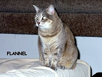 Domestic Shorthair Cat for adoption in Naples, Florida - Flannel