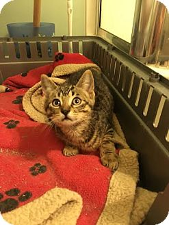 Domestic Shorthair Kitten for adoption in Woodstock, Ontario - Slider