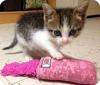 Domestic Shorthair Kitten for adoption in River Edge, New Jersey - Duncan