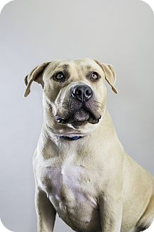 American Staffordshire Terrier Mix Dog for adoption in Los Angeles, California - Mariah