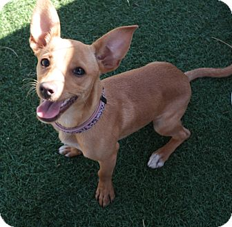 Dachshund Mix Puppy for adoption in San Pablo, California - KACY