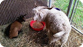 Goat for adoption in Bellingham, Washington - Harriet
