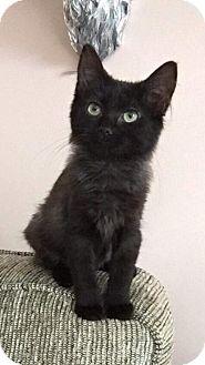 Domestic Longhair Kitten for adoption in Columbus, Ohio - Eli Fisher