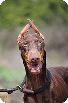 Doberman Pinscher Dog for adoption in Fillmore, California - Novalee